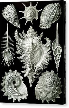 Assorted Sea Shells Canvas Print by Ernst Haeckel
