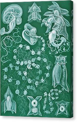 Examples Of Siphonophorae Canvas Print by Ernst Haeckel