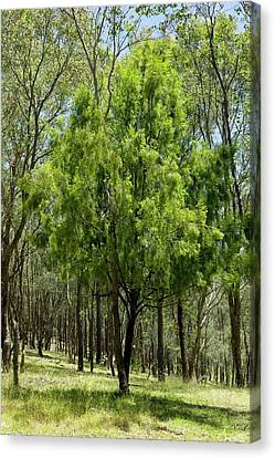 Exocarpus Cupressiformis In Dry Forest Canvas Print by Dr Jeremy Burgess