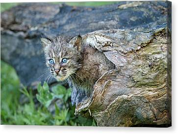 Exploring Canvas Print by Cheryl Schneider