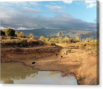 Extensive Cow Farming With Water Hole Canvas Print by Daniel Sambraus