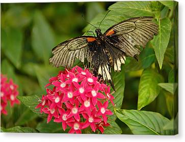 Extraordinary Butterfly Canvas Print by Aimee L Maher Photography and Art Visit ALMGallerydotcom