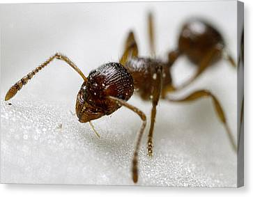 Extreme Macro Ant Canvas Print by Mr Bennett Kent