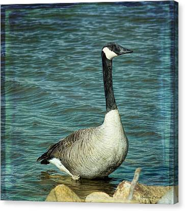 Eye To Eye Canada Goose Canvas Print by Bellesouth Studio