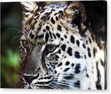 Eyes Of A Big Cat Canvas Print by John Rizzuto