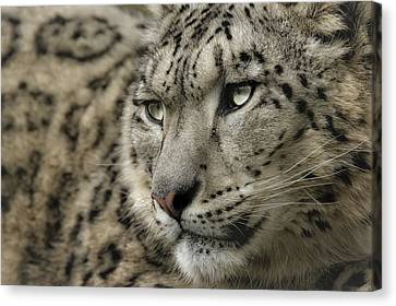 Eyes Of A Snow Leopard Canvas Print by Chris Boulton