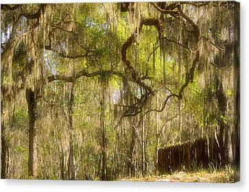 Fabulous Spanish Moss Canvas Print by Christine Till
