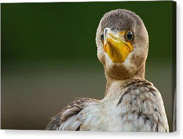 Facing The Great Cormorant Canvas Print by Andres Leon