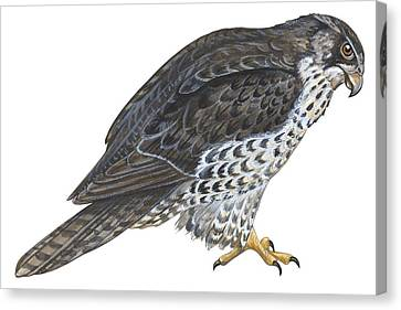 Falcon Canvas Print by Anonymous