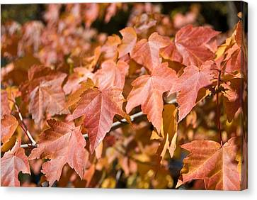 Fall Colors Canvas Print by Shane Kelly