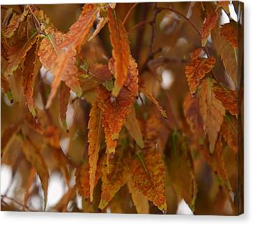 Fall Leaves On A Tree Canvas Print by Chris Flees