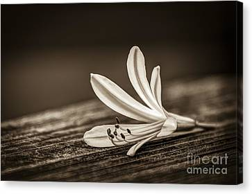 Fallen Beauty- Sepia Canvas Print by Marvin Spates