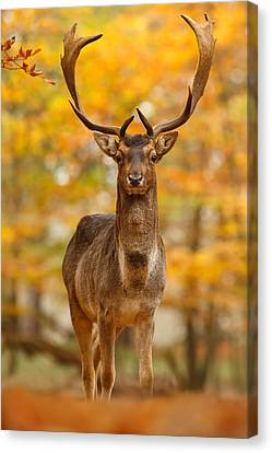 Fallow Deer In Autumn Forest Canvas Print by Roeselien Raimond