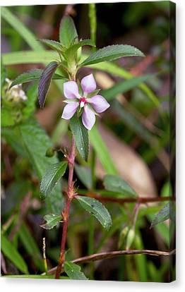 False Meadow Beauty (pterolepis Glomerata Canvas Print by Bob Gibbons