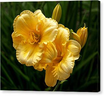 Fancy Yellow Daylilies Canvas Print by Rona Black