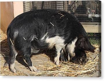 Farm Pig 7d27344 Canvas Print by Wingsdomain Art and Photography