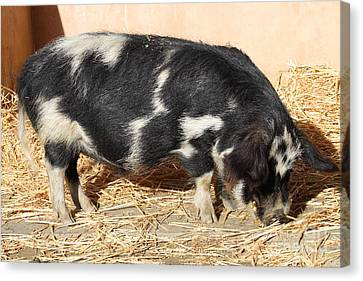 Farm Pig 7d27356 Canvas Print by Wingsdomain Art and Photography