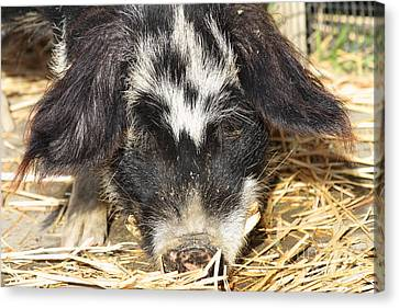 Farm Pig 7d27361 Canvas Print by Wingsdomain Art and Photography
