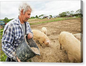 Farmer Feeding Organic Middle White Pigs Canvas Print by Ashley Cooper