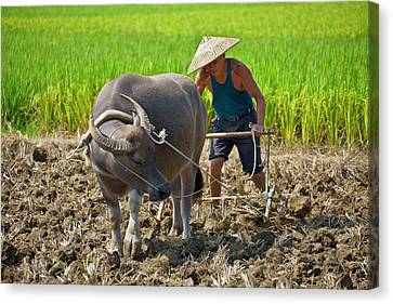 Farmer Plowing With Water Buffalo Canvas Print by Keren Su