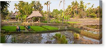 Farmer Working In A Rice Field, Chiang Canvas Print by Panoramic Images