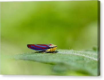 Fashion Bug - Leafhopper Canvas Print by  Andrea Lazar