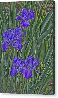 Faux Painted Irises Canvas Print by Penny Lisowski