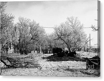 feed and fresh grass laid out for cows on winter farmland Forget Saskatchewan Canada Canvas Print by Joe Fox