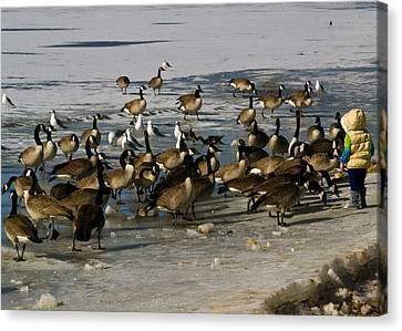 Feeding The Geese Canvas Print by Matt Radcliffe