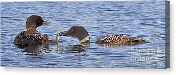 Feeding Time For Loon Chicks Canvas Print by Jim Block