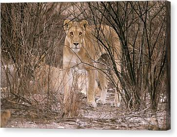 Female African Lion Canvas Print by Simon Booth