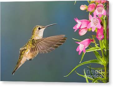 Female Broad-tailed Hummingbirds Canvas Print by Anthony Mercieca