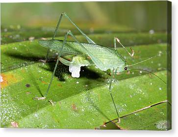 Female Katydid With Spermatophore Canvas Print by Dr Morley Read