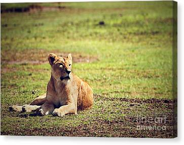 Female Lion Lying. Ngorongoro In Tanzania Canvas Print by Michal Bednarek