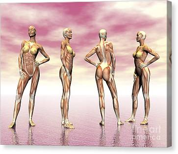 Female Muscular System From Four Points Canvas Print by Elena Duvernay