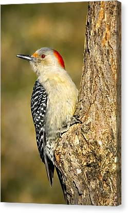 Female Red-bellied Woodpecker Canvas Print by Bill Wakeley