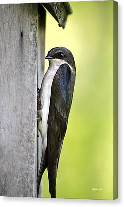 Female Tree Swallow On Nestbox Canvas Print by Christina Rollo