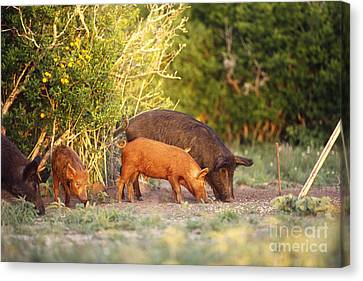 Feral Pigs Canvas Print by Gregory G. Dimijian, M.D.