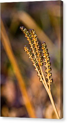 Fern Spore Stalk In Morning 3 Canvas Print by Douglas Barnett