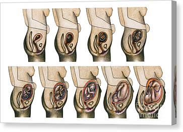 Fetal Development Canvas Print by Gwen Shockey