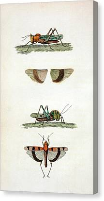 Field Crickets Canvas Print by General Research Division/new York Public Library