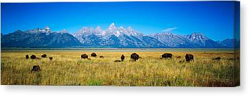 Field Of Bison With Mountains Canvas Print by Panoramic Images