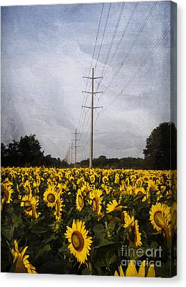 Field Of Sunflowers Canvas Print by Elena Nosyreva