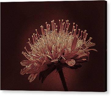 Field Scabious Photographic Art Canvas Print by David Dehner