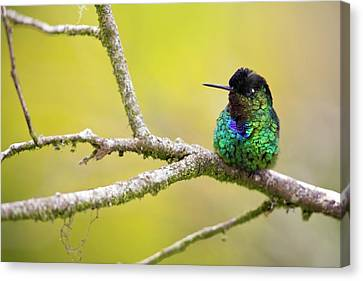 Fiery-throated Hummingbird Canvas Print by Nicolas Reusens