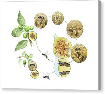 Fig Wasp Life Cycle Canvas Print by Nicolle R. Fuller