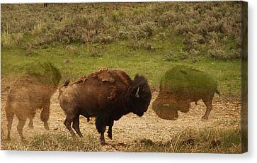 Fighting Buffalo Canvas Print by Dan Sproul