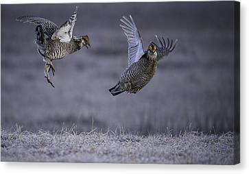 Fighting Prairie Chickens Canvas Print by Thomas Young