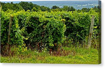 Finger Lakes Vineyard Canvas Print by Frozen in Time Fine Art Photography