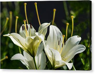 Finishing Blossoming - Featured 3 Canvas Print by Alexander Senin